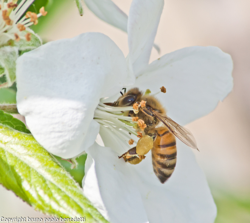 Pollinating bee on apple flower, side view close-up.