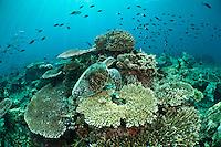 Green turtle resting on coral, Sipadan, Sabah, Malaysia.