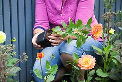 Planting young pot grown dahlias in a border