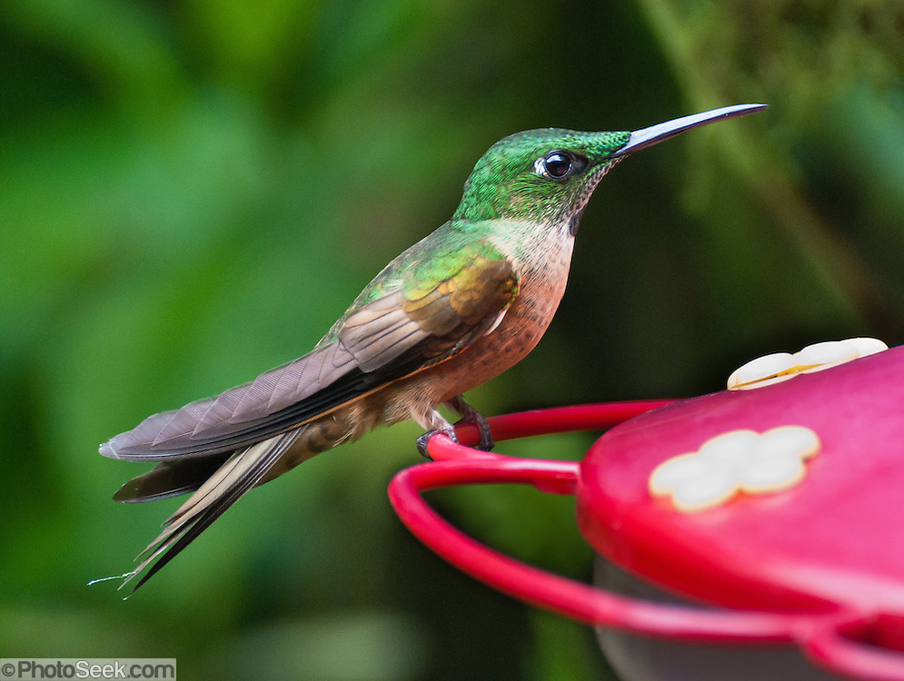 A female White-necked Jacobin (Florisuga mellivora; or Great Jacobin; or Collared Hummingbird) feeds at the lower elevations (about 1400 meters) of Bellavista Cloud Forest Reserve, near Quito, Ecuador, South America. This large and attractive hummingbird ranges from Mexico south to Peru, Bolivia and south Brazil. The approximately 12 cm long male White-necked Jacobin is unmistakable with its white belly and tail, a white band on the nape and a dark blue hood. Immature males have less white in the tail and a conspicuous rufous patch in the malar region. Females are highly variable, and may resemble adult or immature males, have green upperparts, white belly, white-scaled green or blue throat, and white-scaled dark blue crissum, or have intermediate plumages, though retain the white-scaled dark blue crissum. Females are potentially confusing, but the pattern on the crissum is distinctive and not shared by superficially similar species. These birds usually visit flowers of tall trees and epiphytes for nectar, and also hawk for insects.