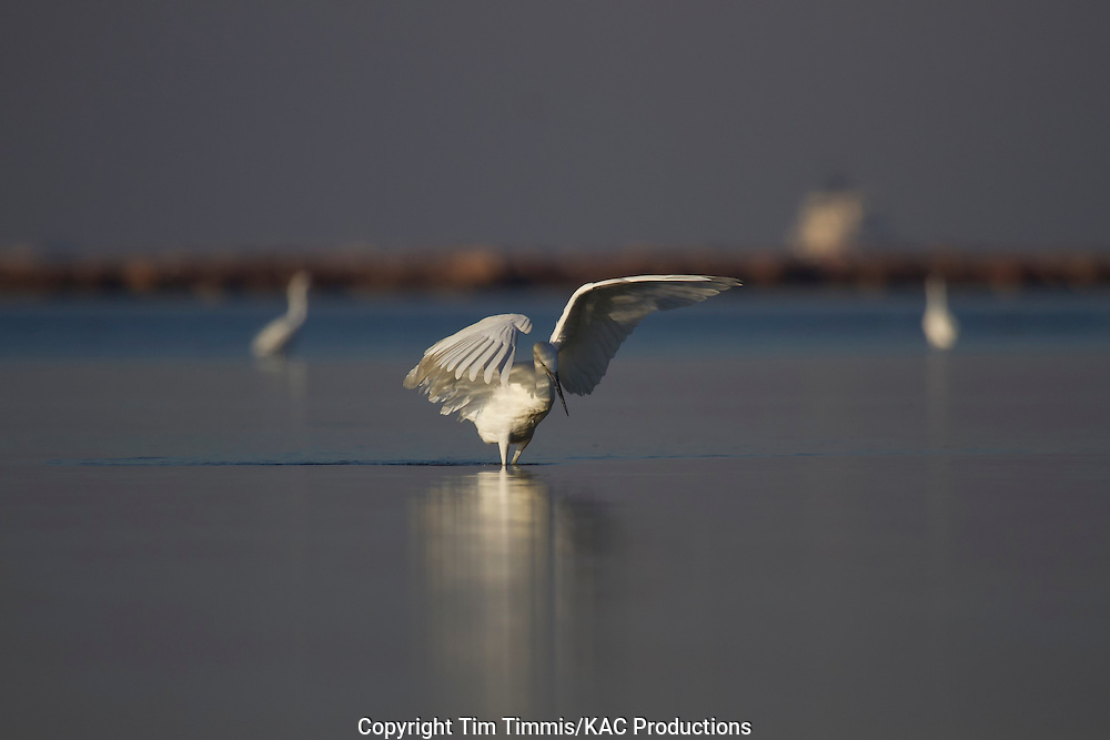 Reddish Egret, Egretta rufescens, Bolivar Flats, Texas gulf coast, white morph, raised wings, fishing