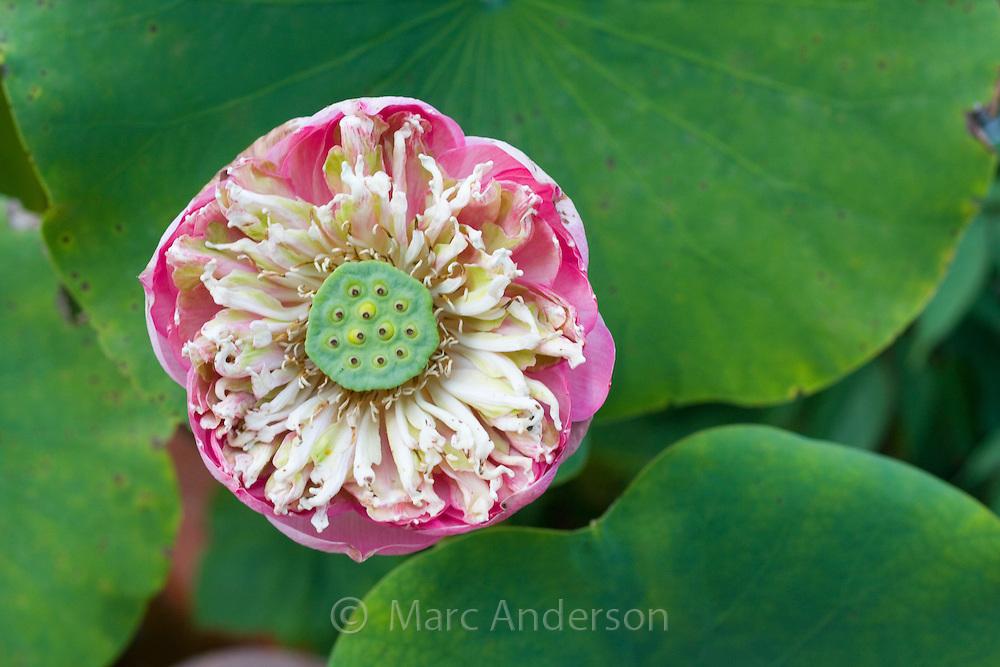 Lotus flower (Nelumbo nucifera), Thailand