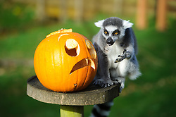 © Licensed to London News Pictures. 29/10/2013 Dunstable, UK. A ring tailed lemur with a Halloween pumpkin at Whipsnade Zoo, Dunstable. The animals are given the spooky treats as part of their dietary enrichment programme.<br /> Photo credit : Simon Jacobs/LNP