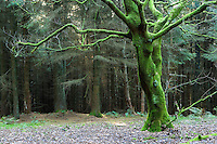 mossy green tree in a conifer plantation