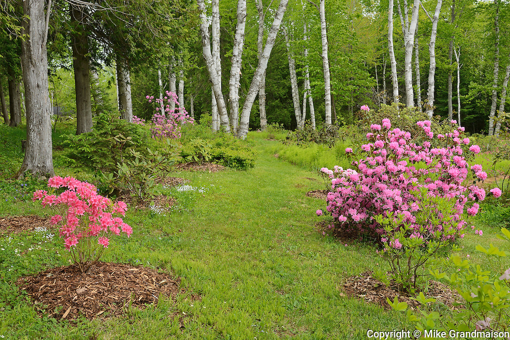 Forest edge that has been planted with ornamental plants such as azaleas and rhododendrons<br /> Long Reach<br /> New Brunswick<br /> Canada