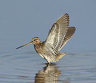 Common Snipe - Gallinago gallinago