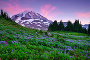 At sunset, red cirrus clouds surround the summit over Mount Rainier, standing tall over a field of summer wildflowers at Spray Park in Mount Rainier National Park, Washington.