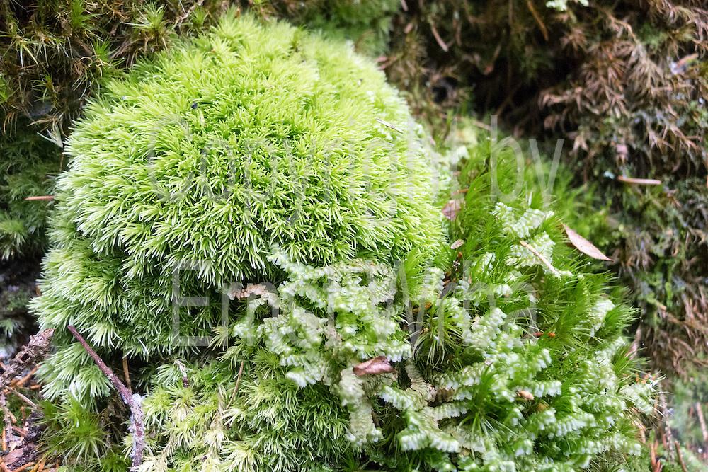 Moos (Makroaufnahme), Sächsische Schweiz, Elbsandsteingebirge, Sachsen, Deutschland | moss (macro picture), Saxon Switzerland, Saxony, Germany