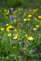 Lesser Celandine, the spring buttercup,  with bluebell. Ranunculus ficaria.