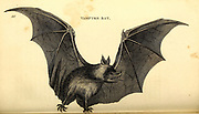 Vampyre (Vampire) Bat from General zoology, or, Systematic natural history Part I, by Shaw, George, 1751-1813; Stephens, James Francis, 1792-1853; Heath, Charles, 1785-1848, engraver; Griffith, Mrs., engraver; Chappelow. Copperplate Printed in London in 1800. Probably the artists never saw a live specimen