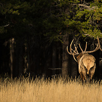 bull elk large anterls walking away bugling into forest