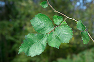 English Elm Ulmus procera Ulmaceae Height to 36m <br /> High domed and lofty. BARK Dark, grooved with squarish plates. Branches Main ones ascending. Twigs reddish, hairy. Leaves Rough, rounded to oval; unequal base does not reach beyond petiole. Reproductive parts Fruits papery, to 1.5cm long, short-stalked. Status Fairly common but declining.