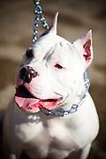 White Pit Bull Dog