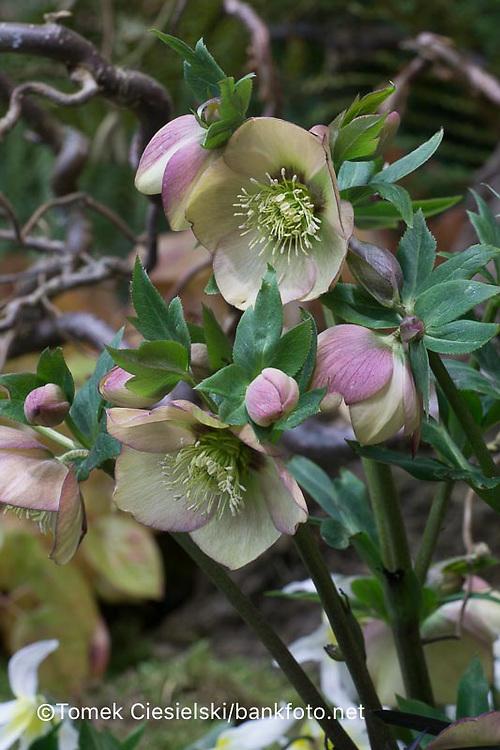 Helleborus hybridus 'Bradfield hybrids'