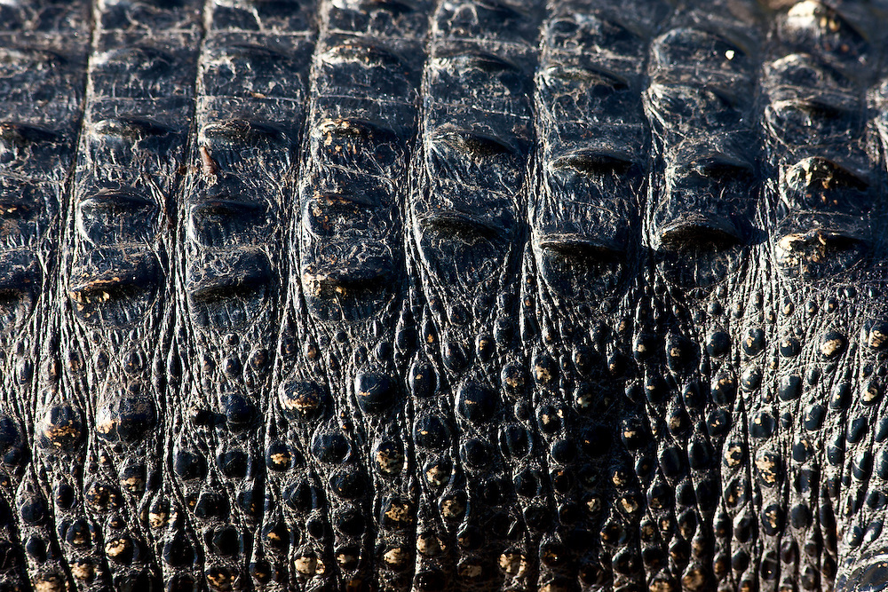 Alligator, The Everglades, Florida, United States of America