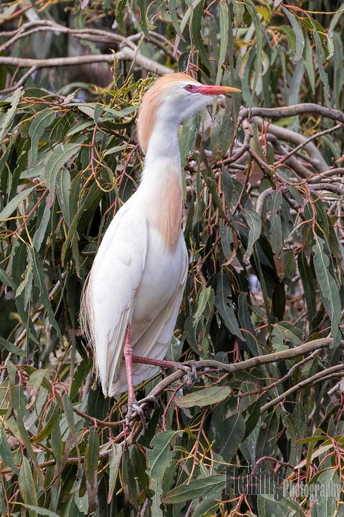 Cattle egret perching in a eucalyptus tree, Laguna de Santa Rosa, Santa Rosa, California