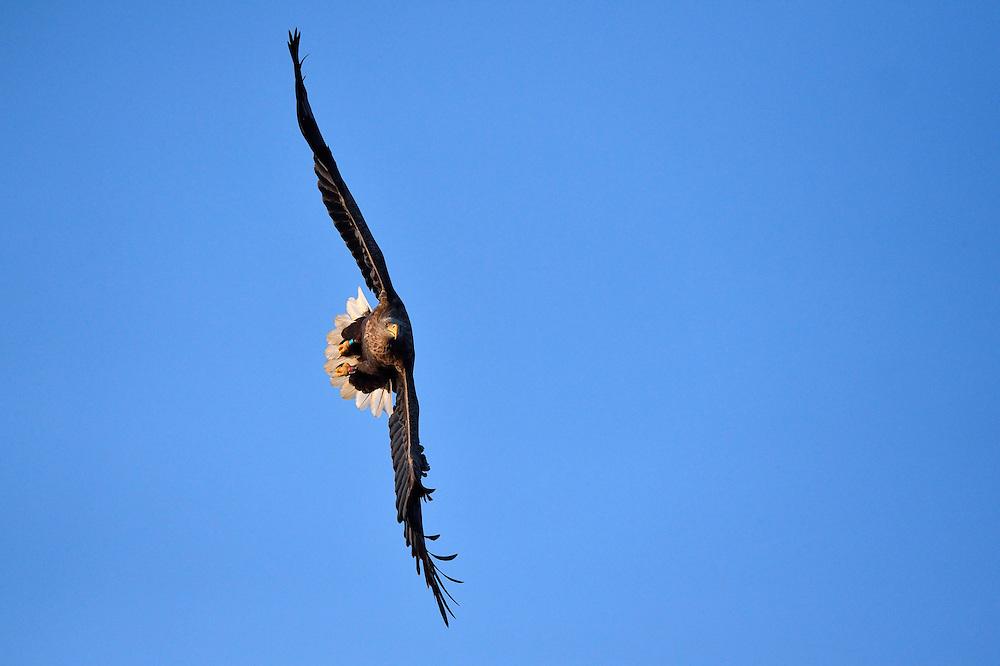 White-tailed eagle or Sea eagle or Erne, Haliaeetus albicilla, Flatanger, Nord-Tröndelag, Norway