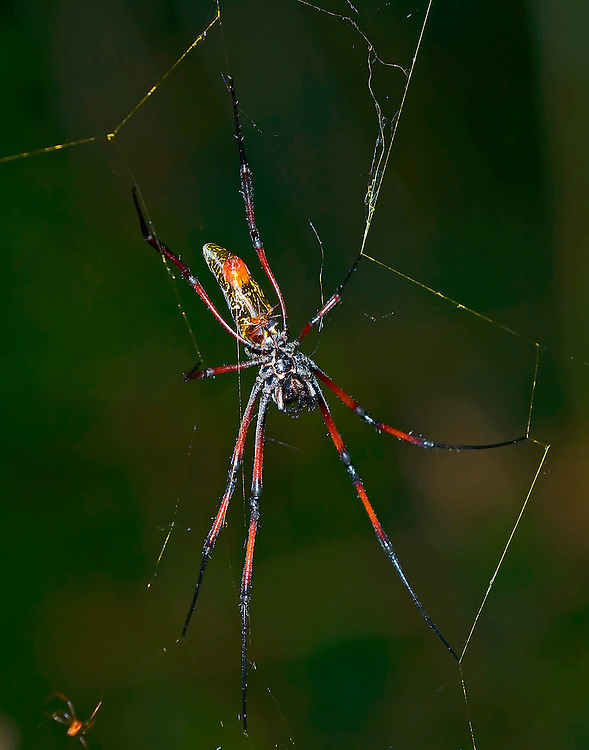 Madagascar Silk Spider - Female/large Male/small on belly<br /> (Nephila madagascarensis)