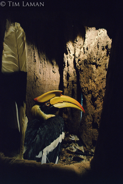 Great Hornbill (Buceros bicornis) female inside her nest cavity in a hollow tree with tail raised.   IUCN Red List: Near Threatened.