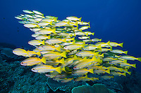 Schooling Bigeye Snappers.Shot in West Papua Province, Indonesia