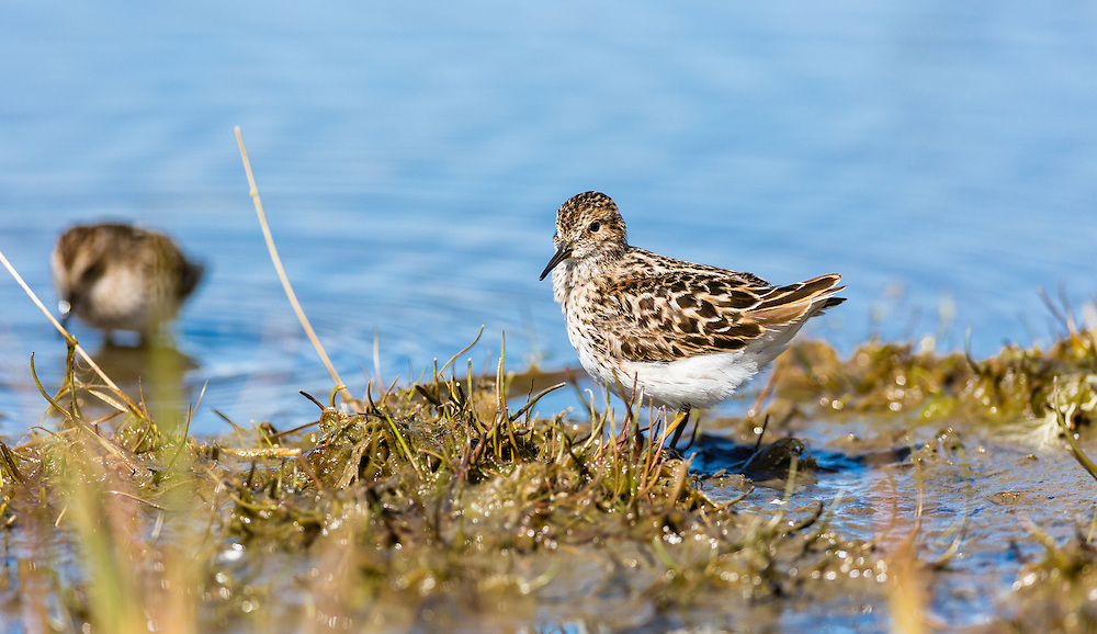 Western Sandpiper (Calidris mauri) foraging on the tidal flats of Hartney Bay near Cordova in Southcentral Alaska  to refuel on the long spring migration to the arctic. Afternoon.