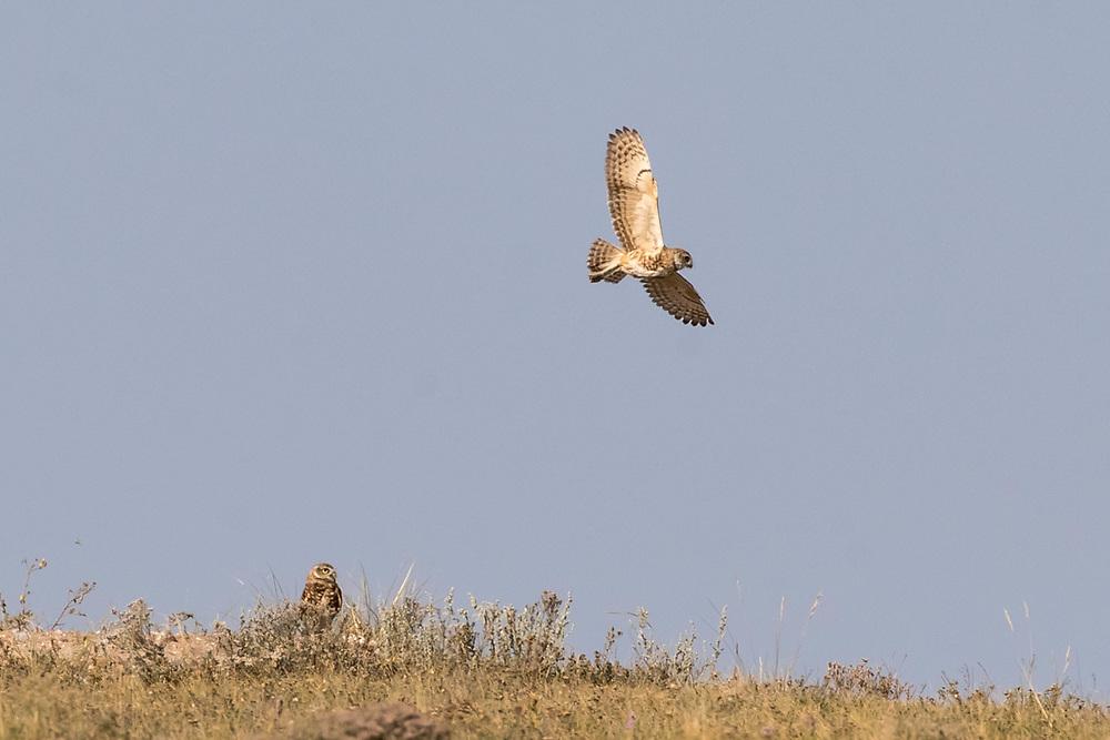 Burrowing owl near Hillsdale, Wyoming, on Aug. 23, 2017.