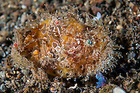 "Striped Frogfish, ""hairy variation""<br /> <br /> Shot in Indonesia"