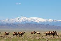 Mongolie. Province de Gov-Altai. Troupeau de chameau sur fond de chaine de l Altai. // Mongolia. Gov-Altai province. Camels drove and Altai mountain.