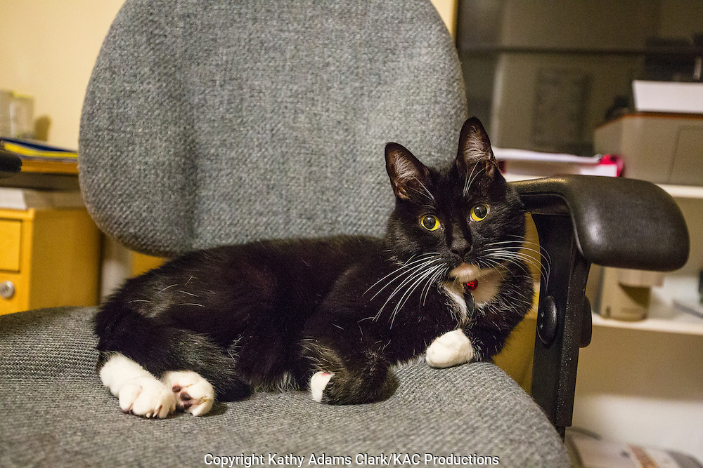 Domestic cat, black-and-white, tuxedo cat, sitting in a chair.