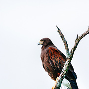 Harris Hawk Perched on Dead Tree Branch on South Texas Ranch.