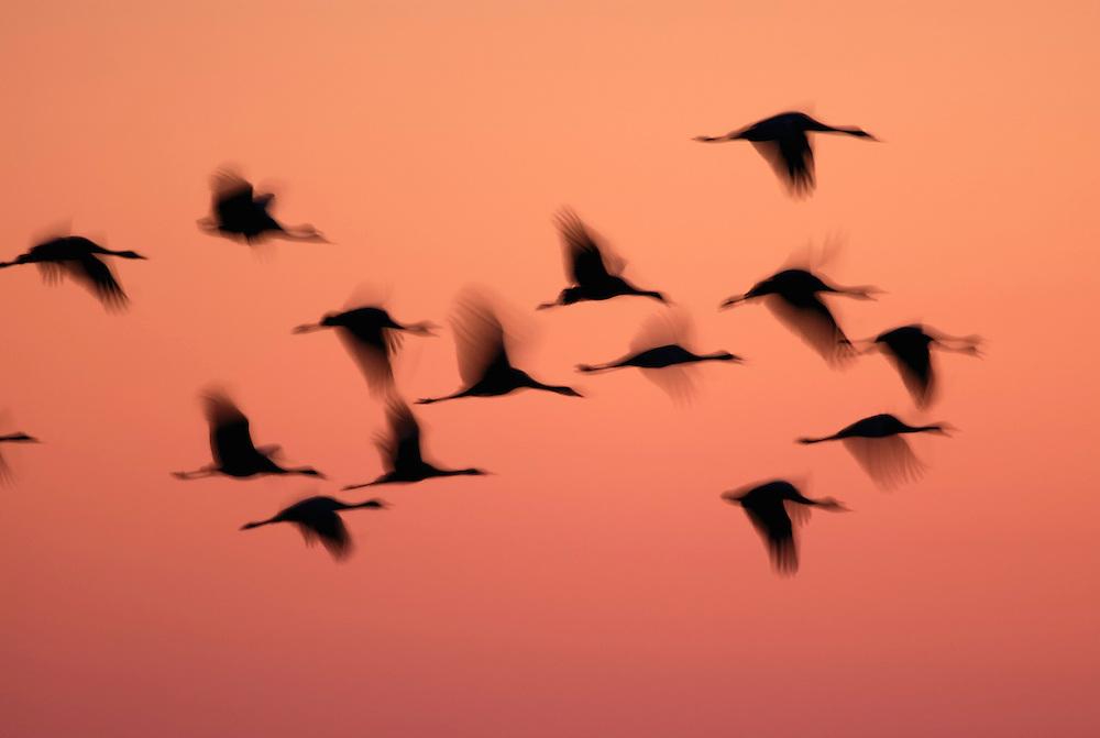 Crane, Grus grus, Lake Hornborga, Sweden