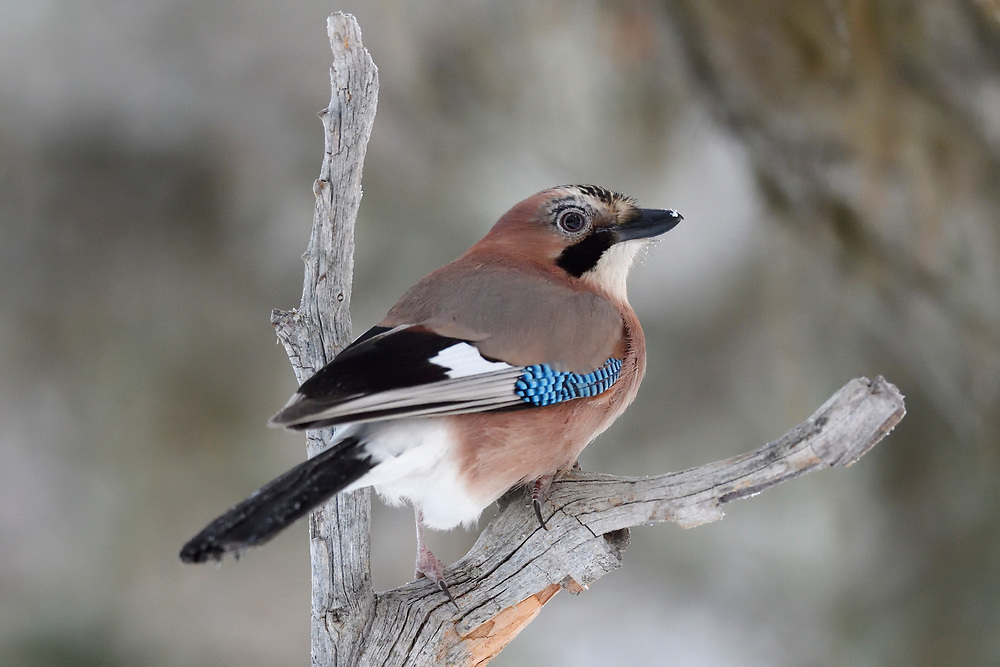 Eurasian Common Jay bird, Garrulus glandarius, sitting on a branch in Kalvtrask, Vasterbotten, Sweden