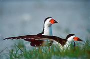 Black Skimmers rest on nesting grounds on the Mississippi gulf coast.