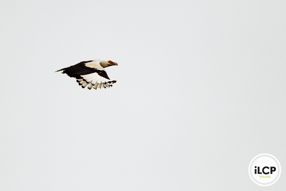 Palm-nut Vulture (Gypohierax angolensis) flying, Lope National Park, Gabon