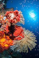 Vibrant Soft Corals and Crinoids beneath a bright sun<br /> <br /> Shot in Indonesia