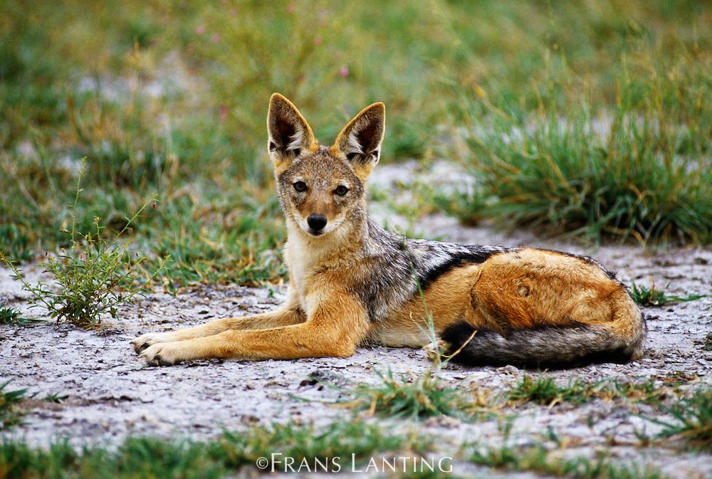 Black-backed jackal, Canis mesomelas, Chobe National Park, Botswana