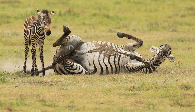 Adult Zebra and young in the Ngorongoro Crater