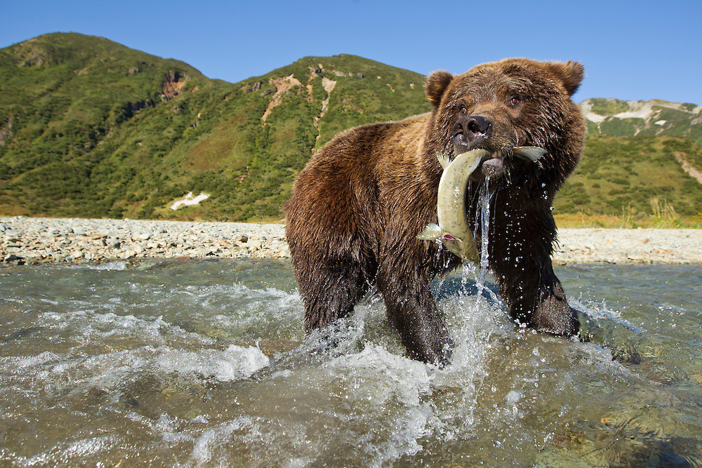 USA, Alaska, Katmai National Park, Wide-angle view of Grizzly Bear (Ursus arctos) catching spawning salmon in stream along Kinak Bay