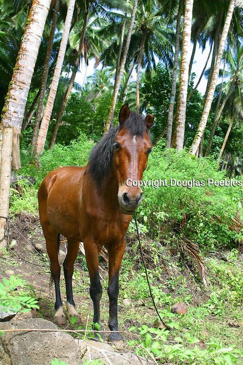 Horse, Puamua, Hiva Oa, Marquesas, French Polynesia<br />
