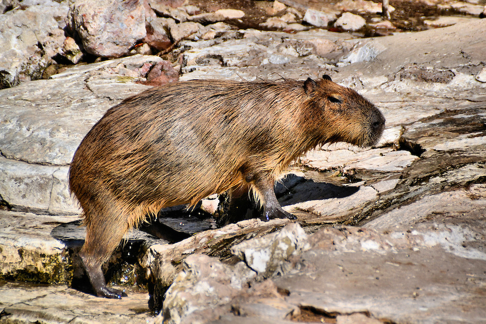 Nutria Rat Emerging from Creek at Buenos Aires Zoo in Buenos Aires, Argentina<br /> The coypu, also known as the nutria, is an 11 to 20 pound rodent that originated along rivers in South America.  In Argentina, its hide is used for making belts, slippers and similar items for tourists (I purchased both).  However, attempts to export and commercialize them for food and clothing in other places in the world have been largely unsuccessful. And in Argentina they are considered a pest because of their destructive eating habits.  This river rat was emerging from a creek at the Buenos Aires Zoo in Argentina.