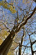 Wild Service Tree - Sorbus torminalis, Stoke Wood, Oxfordshire.