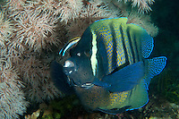 Six Banded Angelfish getting cleaned by a Cleaner Wrasse