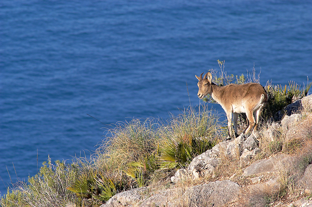 Spanish Ibex (Capra pyrenaica).  Female close the cliff's edge.  Spain