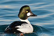 Common Goldeneye, Bucephala clangula, male, Detroit River, Ontario