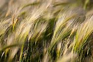 wild grasses in arid high desert environment