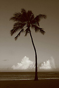 Feb. 17, 2006; Waimea, Oahu, HI - Palm tree at Waimea Bay on the north shore of Oahu...Photo Credit: Darrell Miho.© Darrell Miho