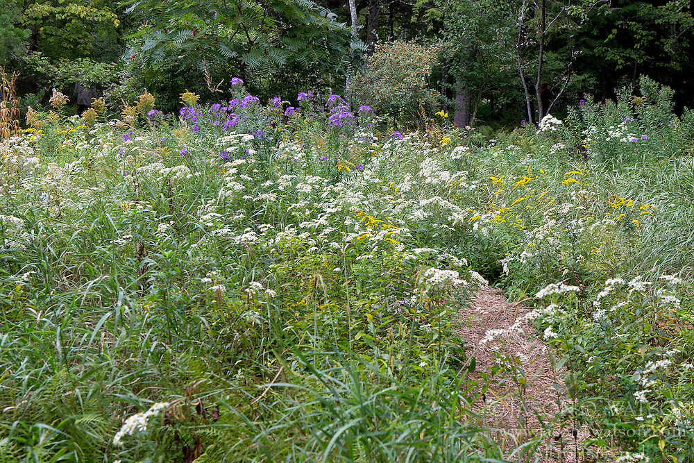 Wild flowers growing in the Wild Gardens of Acadia, Acadia National Park, Maine, United States of America