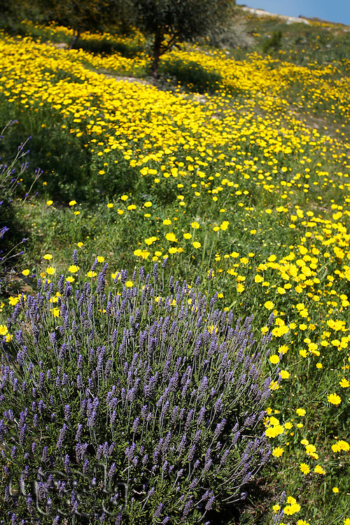 Lavender Plant in Field of Wild Yellow Daisies