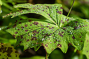 Dew drops on spotted green leaf. Burroughs Mountain Trail, Mount Rainier National Park, Washington, USA. For vigorous training, hike a scenic 10 mile loop with 3200 feet ascent, from White River Campground up Glacier Basin Trail, to Second and First Burroughs, then back via Shadow Lake. Through mid July, be cautious of steep snow below Second Burroughs.