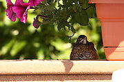 Captured in natural light, this baby robin has grown tired of waiting for a meal, and has decide to get cozy.